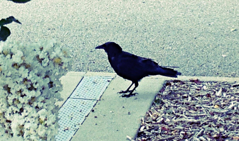ff 0829 letter c crow
